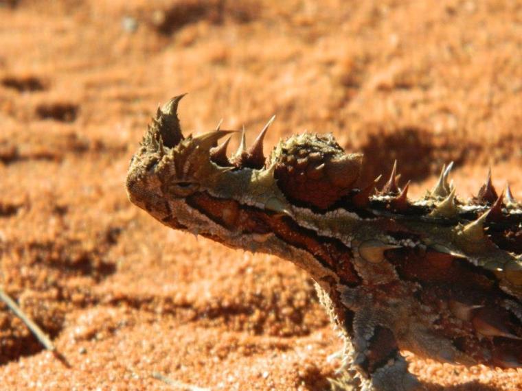 Thorny Devil Australia
