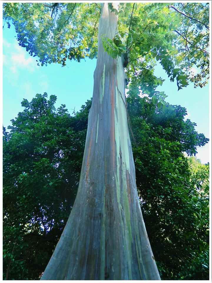 Rainbow Eucalyptus Tree Oahu