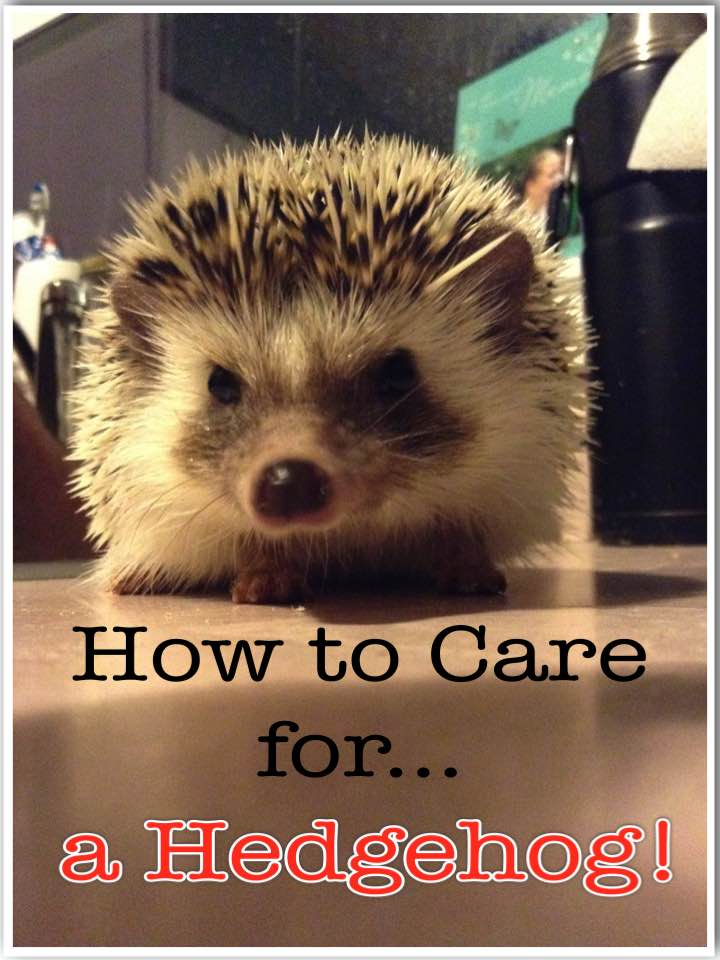 How to care for a hedgehog