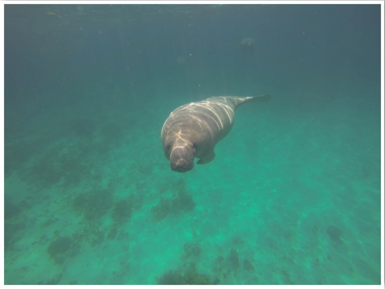Swimming with Manatees Belize