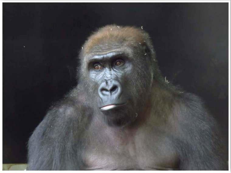 Lincoln Park Zoo Chicago Gorilla