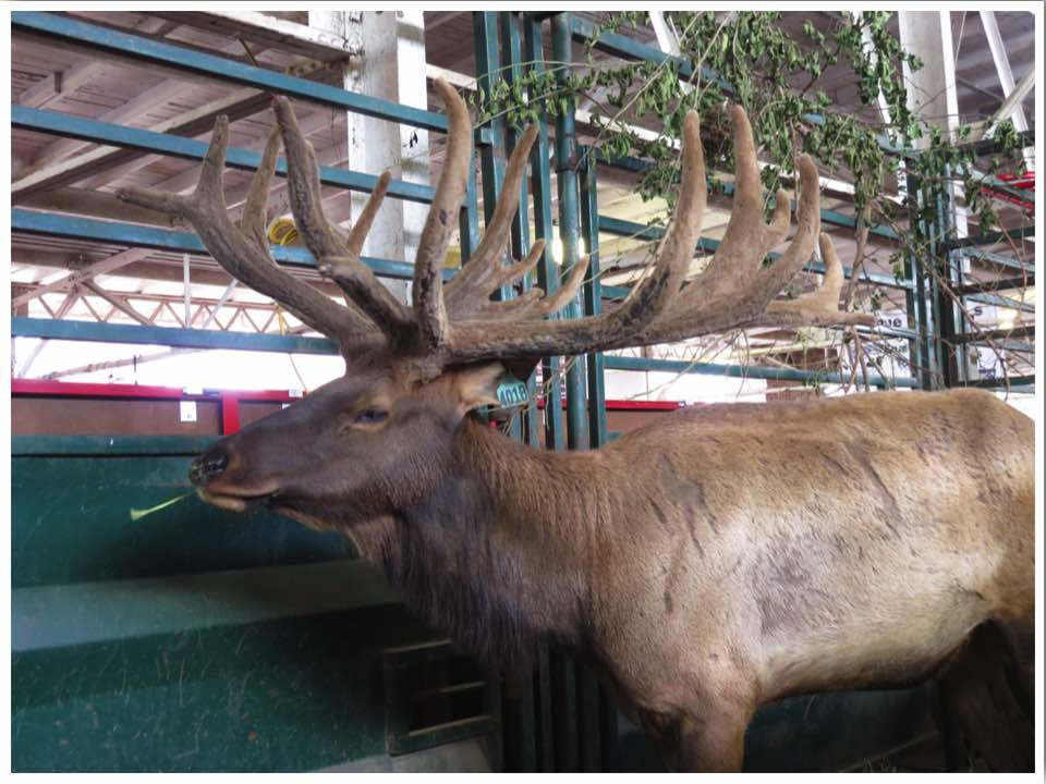 Iowa State Fair Elk
