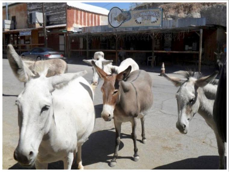Route 66 Oatman Burros Arizona