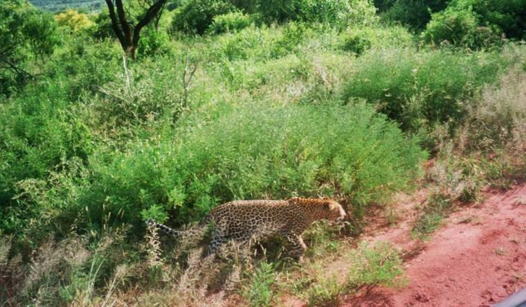 Kenya Leopard