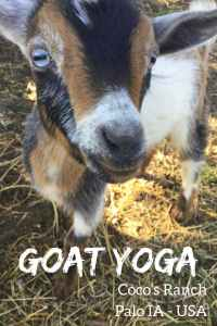 Taking part in Goat Yoga at Coco's Ranch in Palo Iowa. Yoga with goat and how you may just turn into a gogi! #iowa #goatyoga #goga #gogi