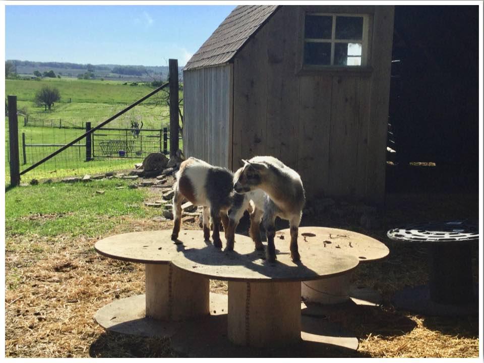 Goat Yoga Palo Iowa