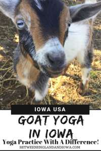 Goat Yoga Iowa. What to expect from goat yoga, a yoga practice with a difference!