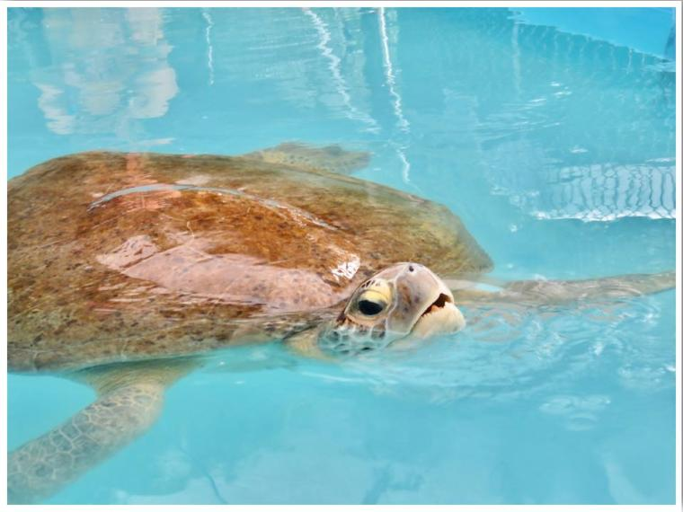 Sea Turtle Hospital Marathon Florida