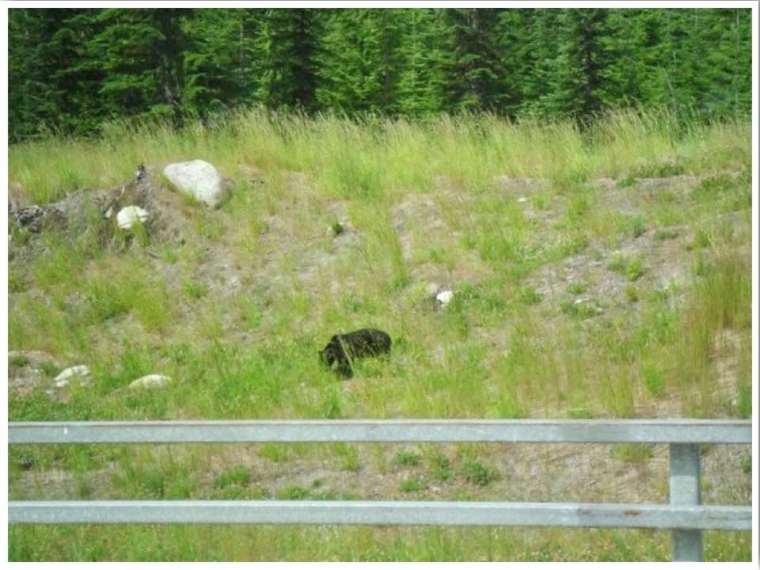 Whistler in Summer bear spotting