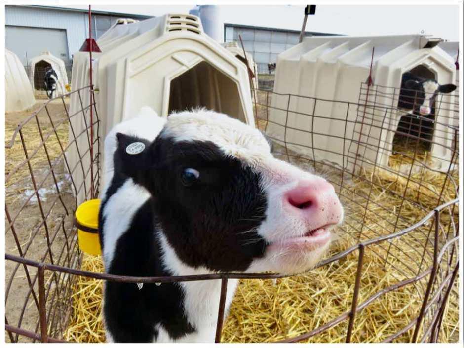 New Day Dairy Calf Iowa