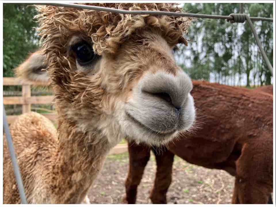 Baby Alpaca Blackwater Alpacas Braintree Essex